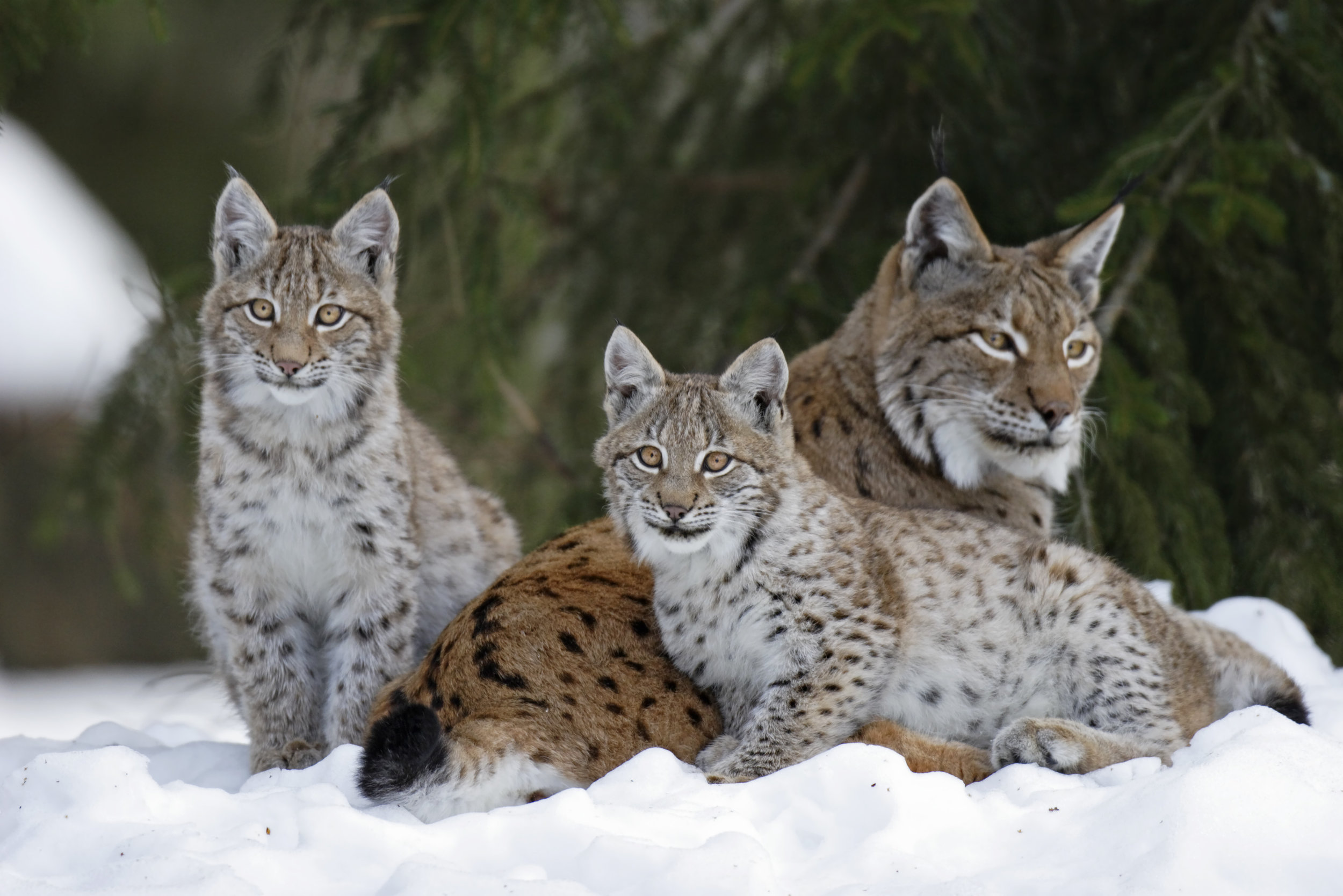 Lynx family in Sweden