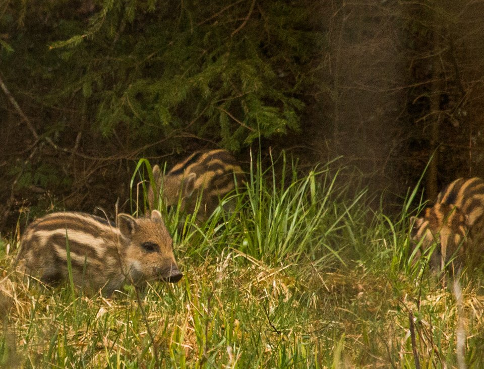 Wild Boar piglet in Sweden by Jan Nordström
