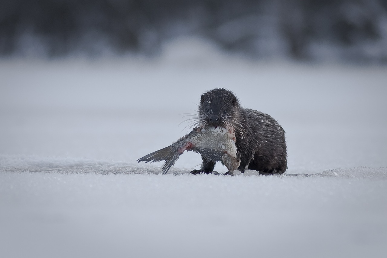 Otter in Sweden