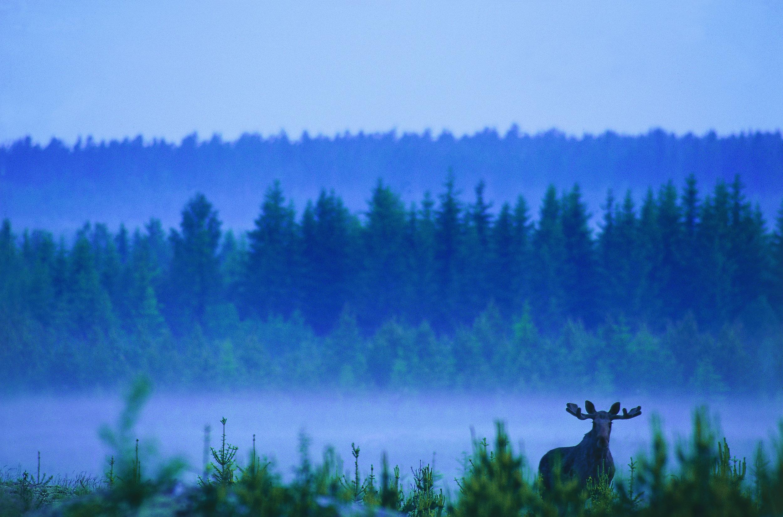 Moose in Sweden by Lars Gabrielsson