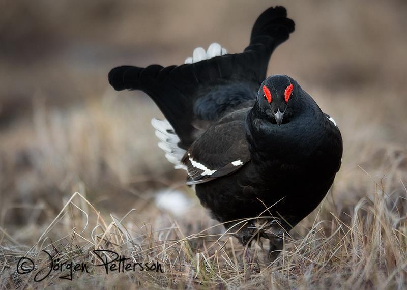 Black Grouse by Jörgen Pettersson