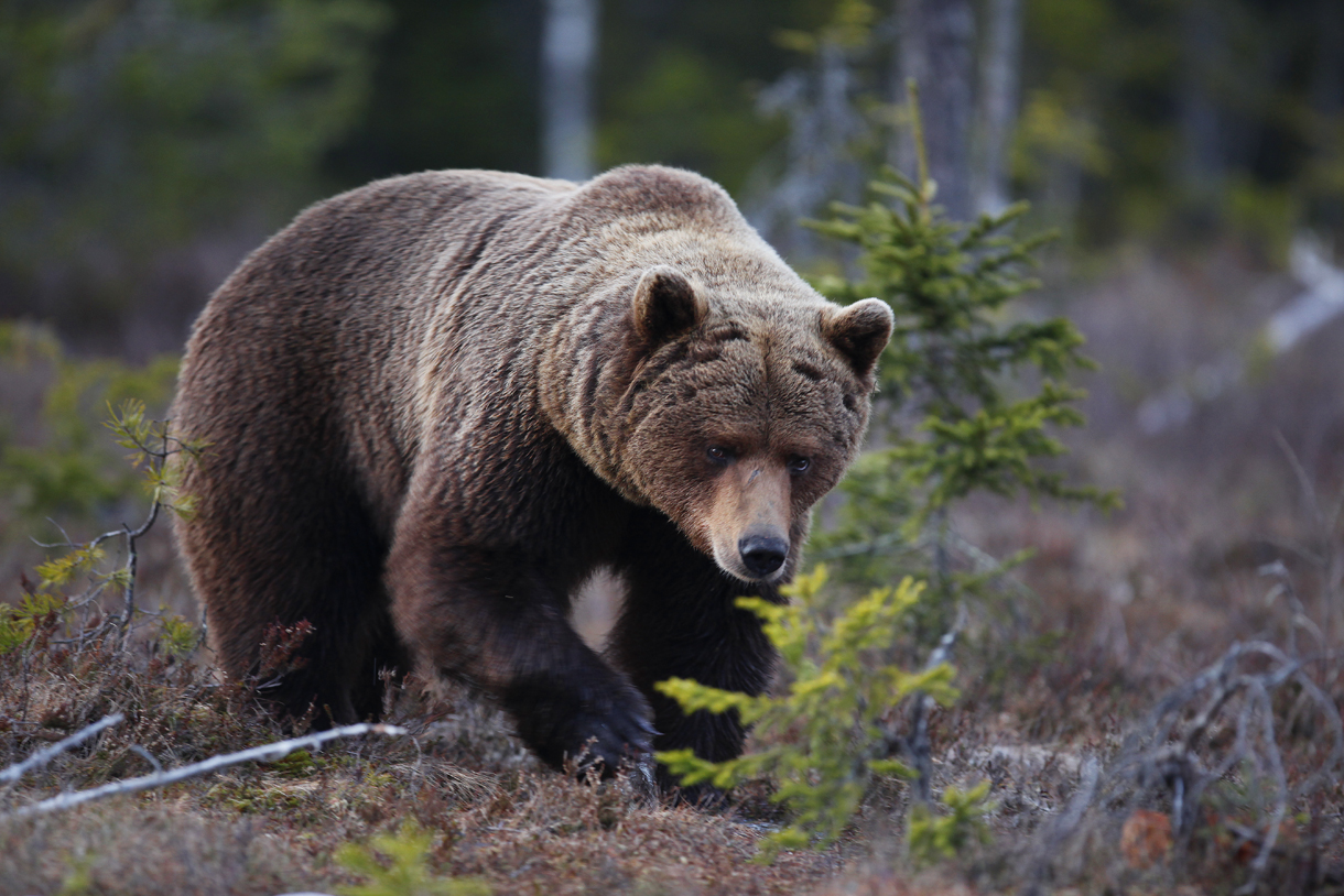 Brown bear photographed by Håkan Vargas