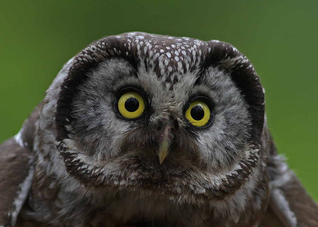 Tengmalms owl up close by Lillebror Hammarström