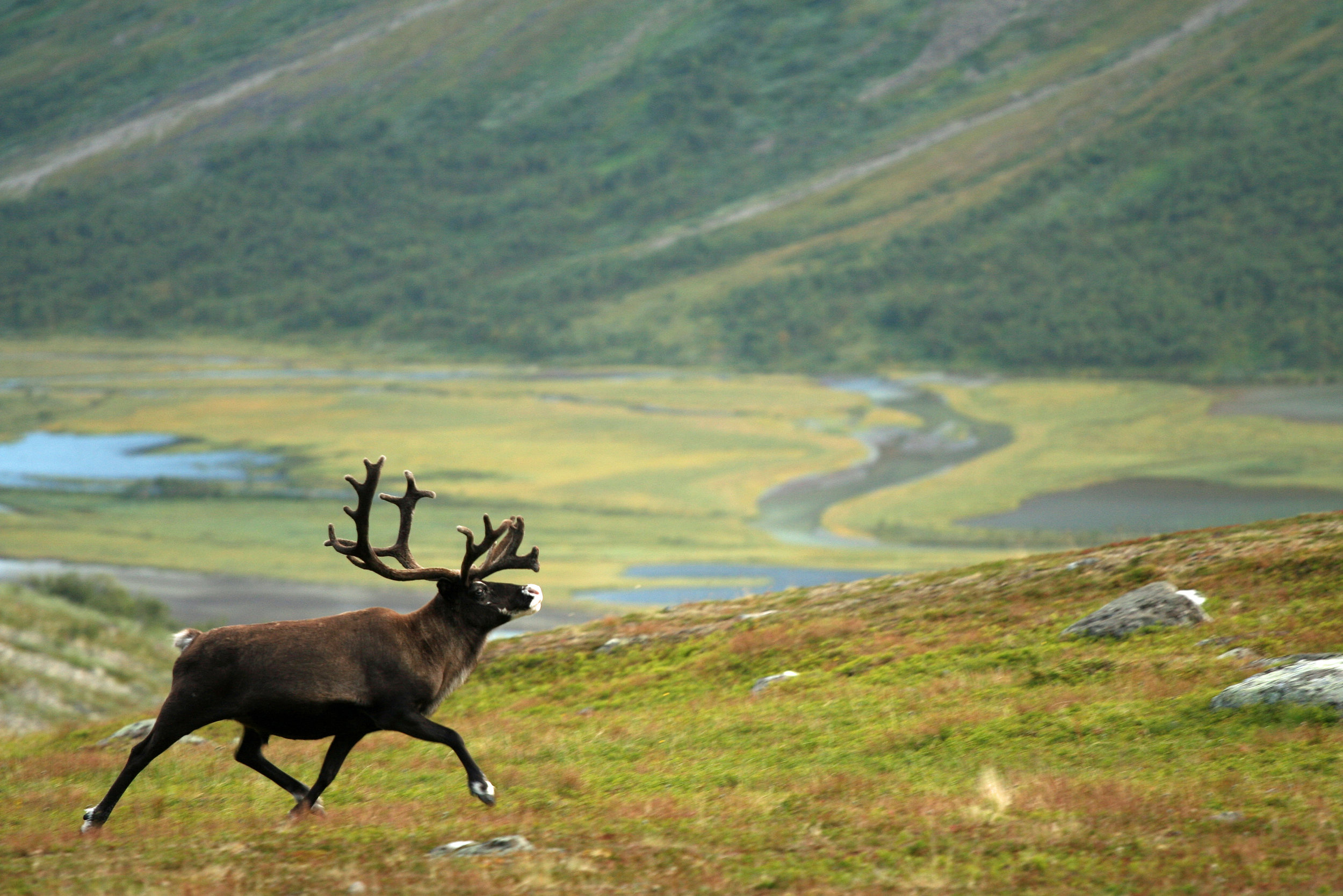 Reindeer in Sarek. Photo: Matti Holmgren