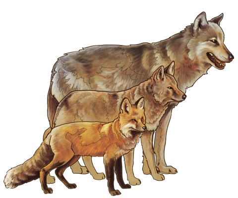 Wolves (back) are larger than coyotes (middle) and red foxes (front).  Illustration: NPS / Michael Warner