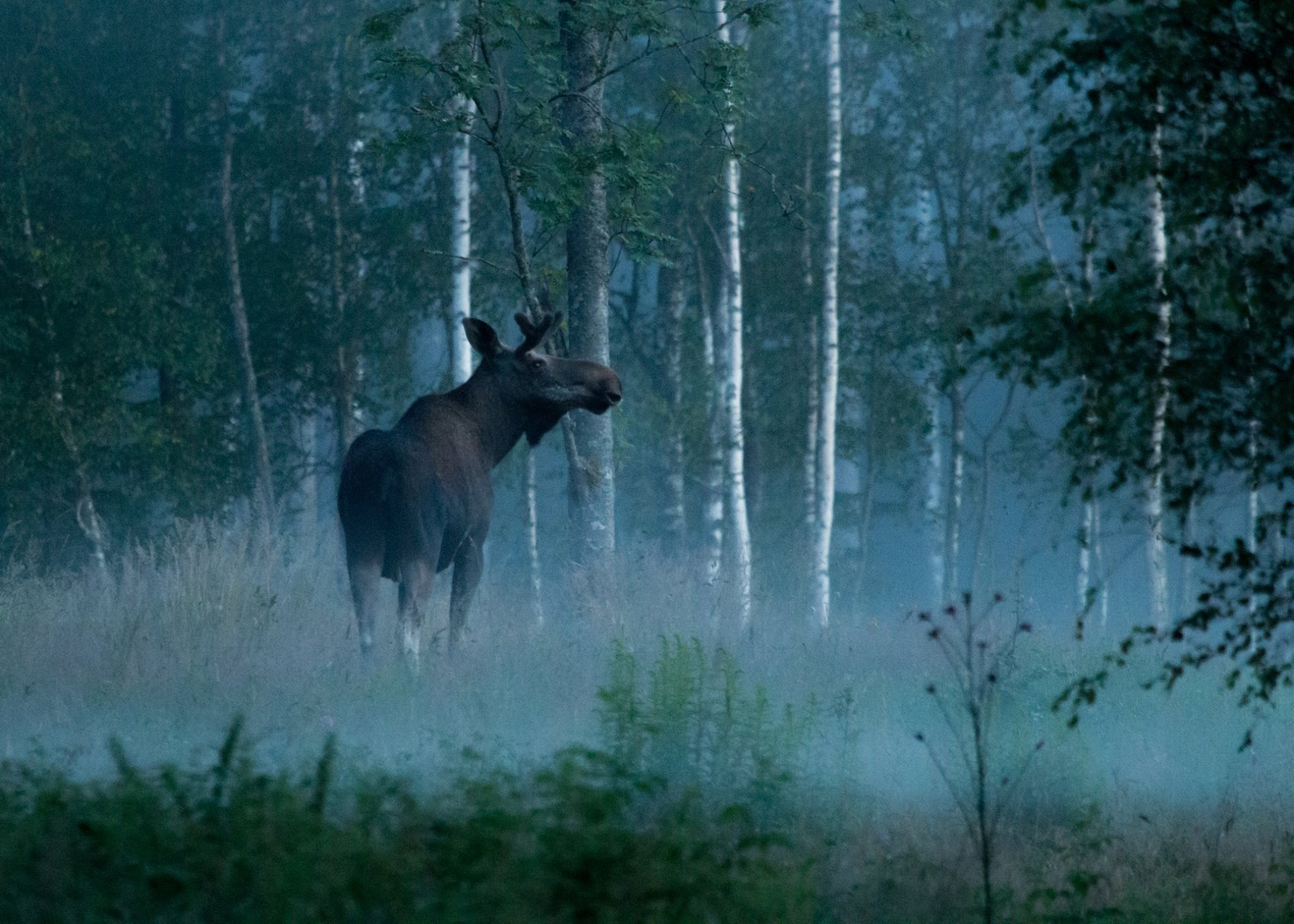 Copy of Moose bull. Photo: Jan Nordström