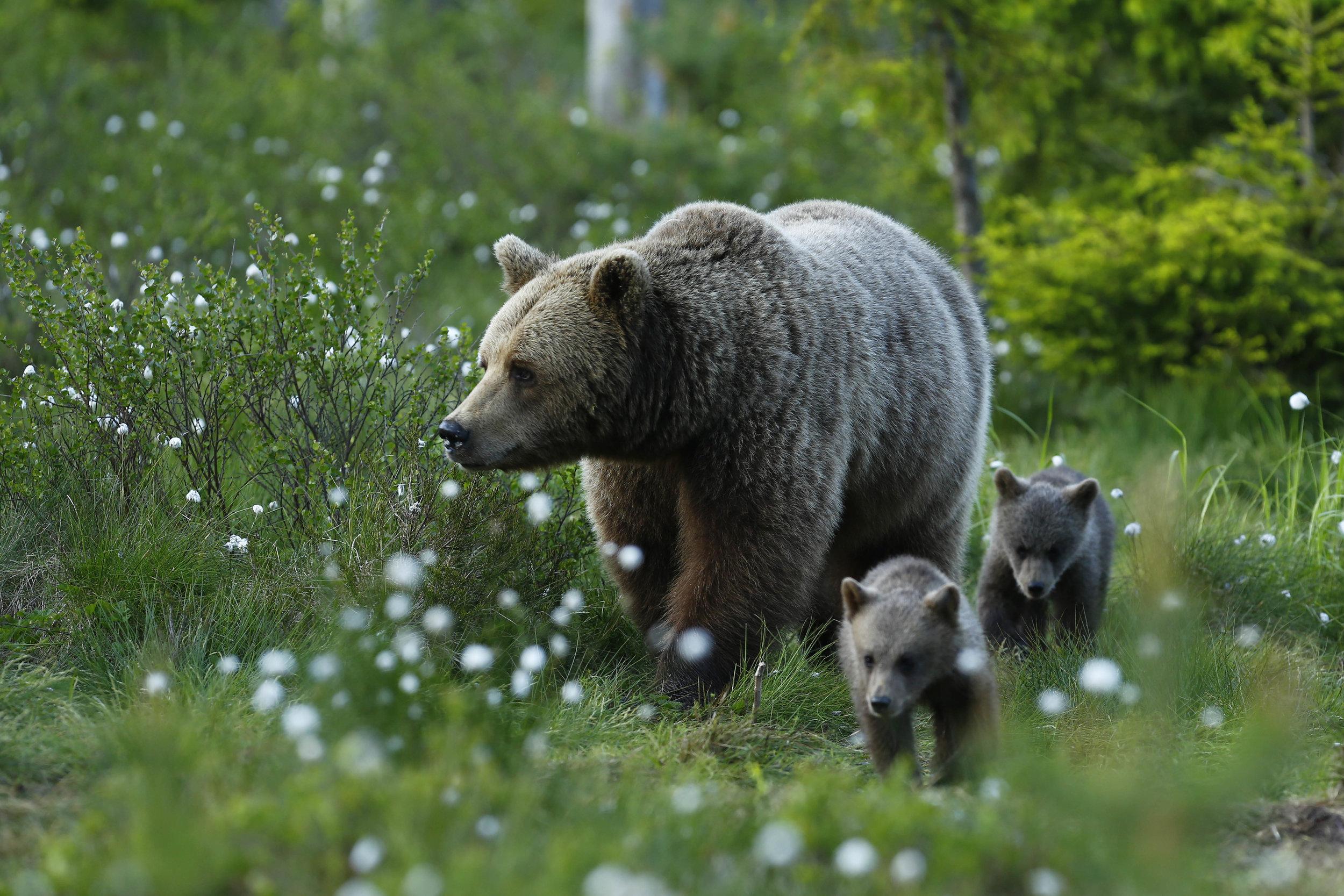 Björnhona med två ungar. De besökte ofta gömslet förra sommaren. Men vanligast är att se ensamma björnar. Foto: Håkan Vargas