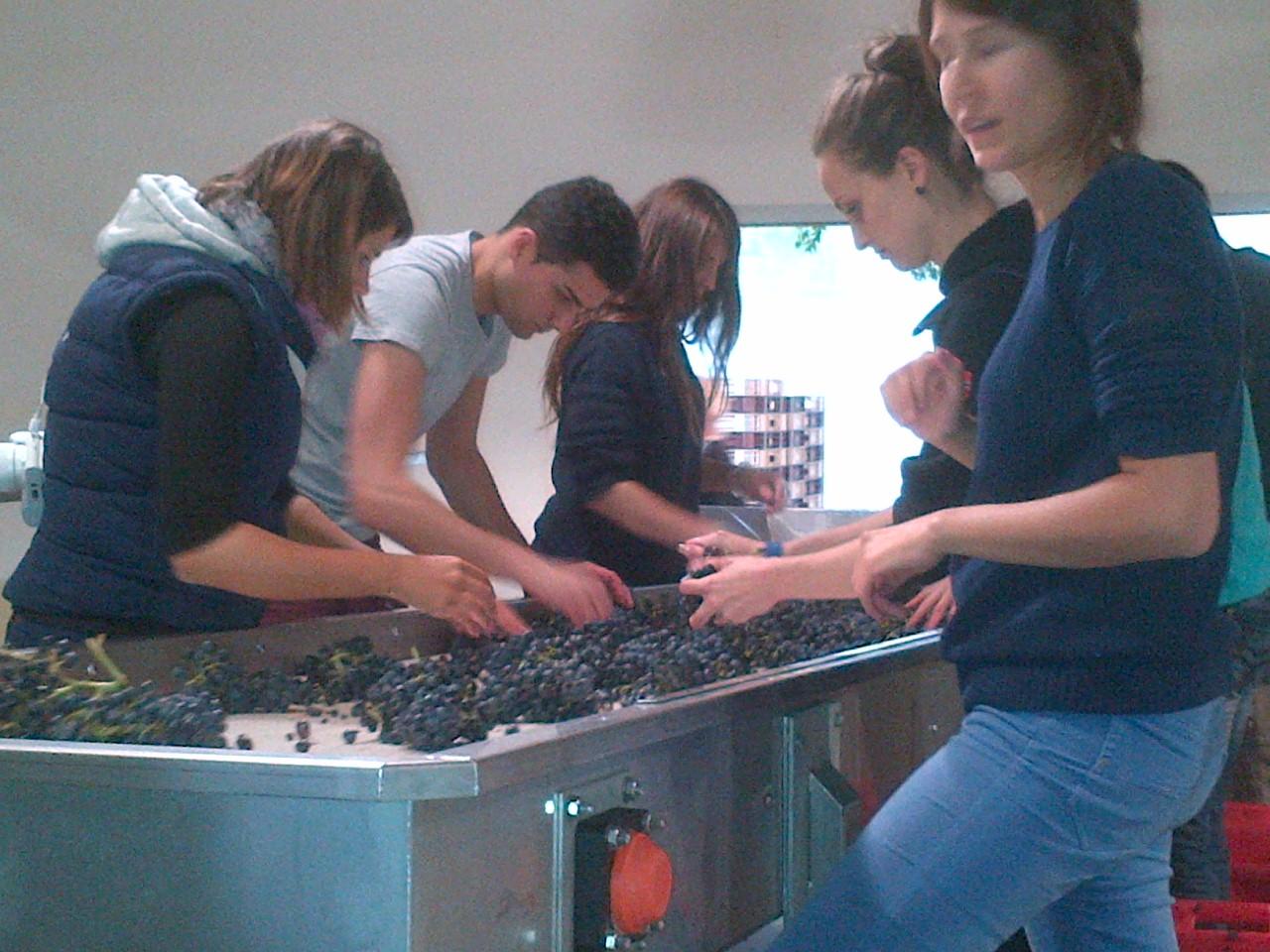 La Verriere Chene Bleu grape sorting