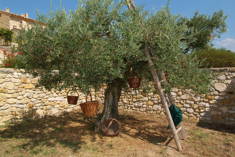 La Verriere olives