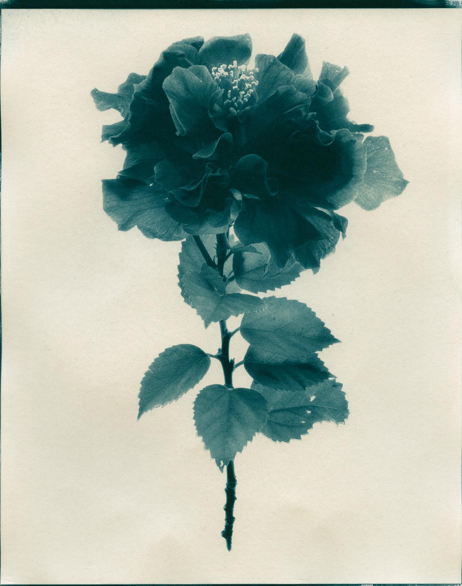 Cyan-Camellia-1900x1500x72dpi-Sq.jpg