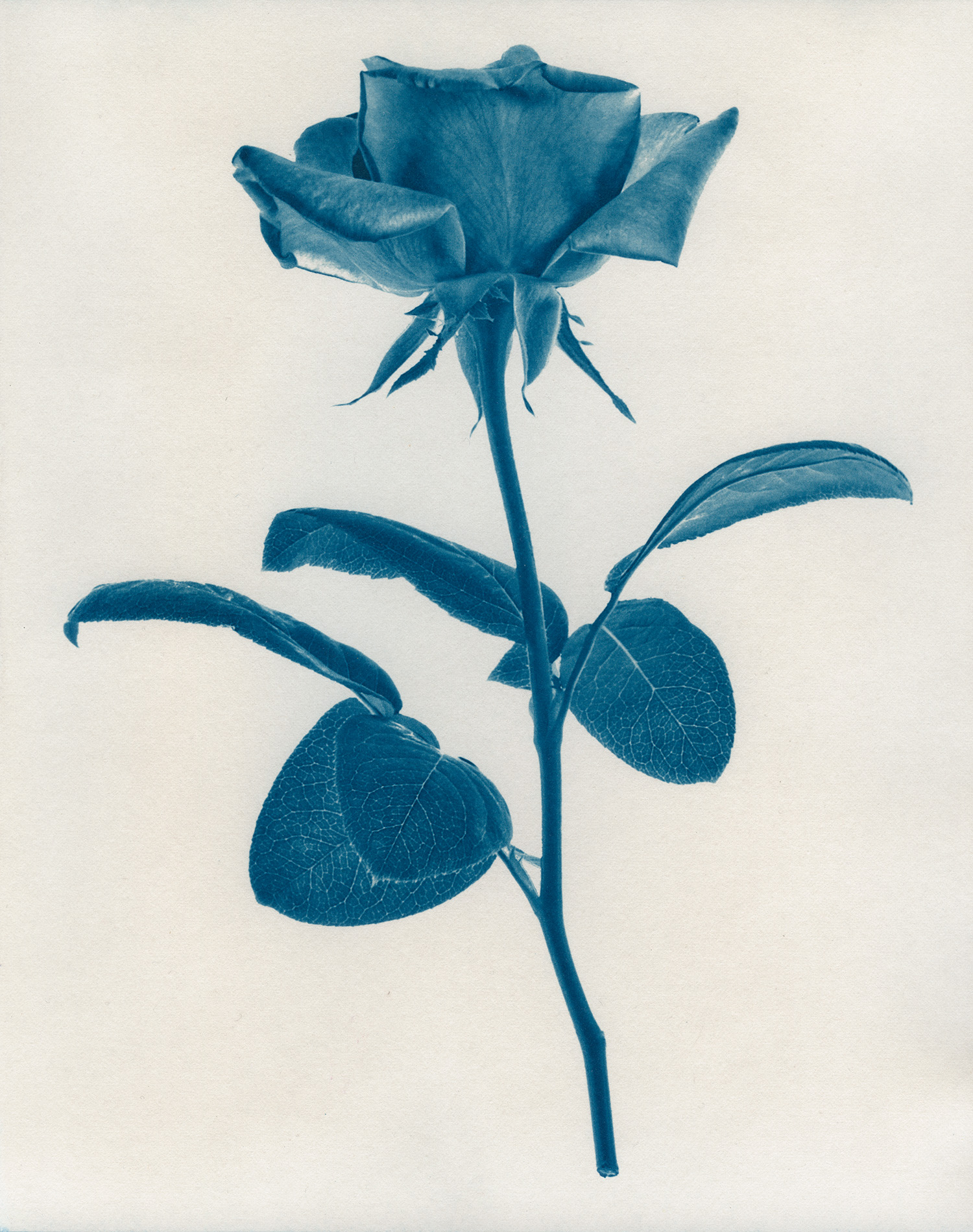 Cyan-Rose-1900x1500x72dpi-Sq.jpg