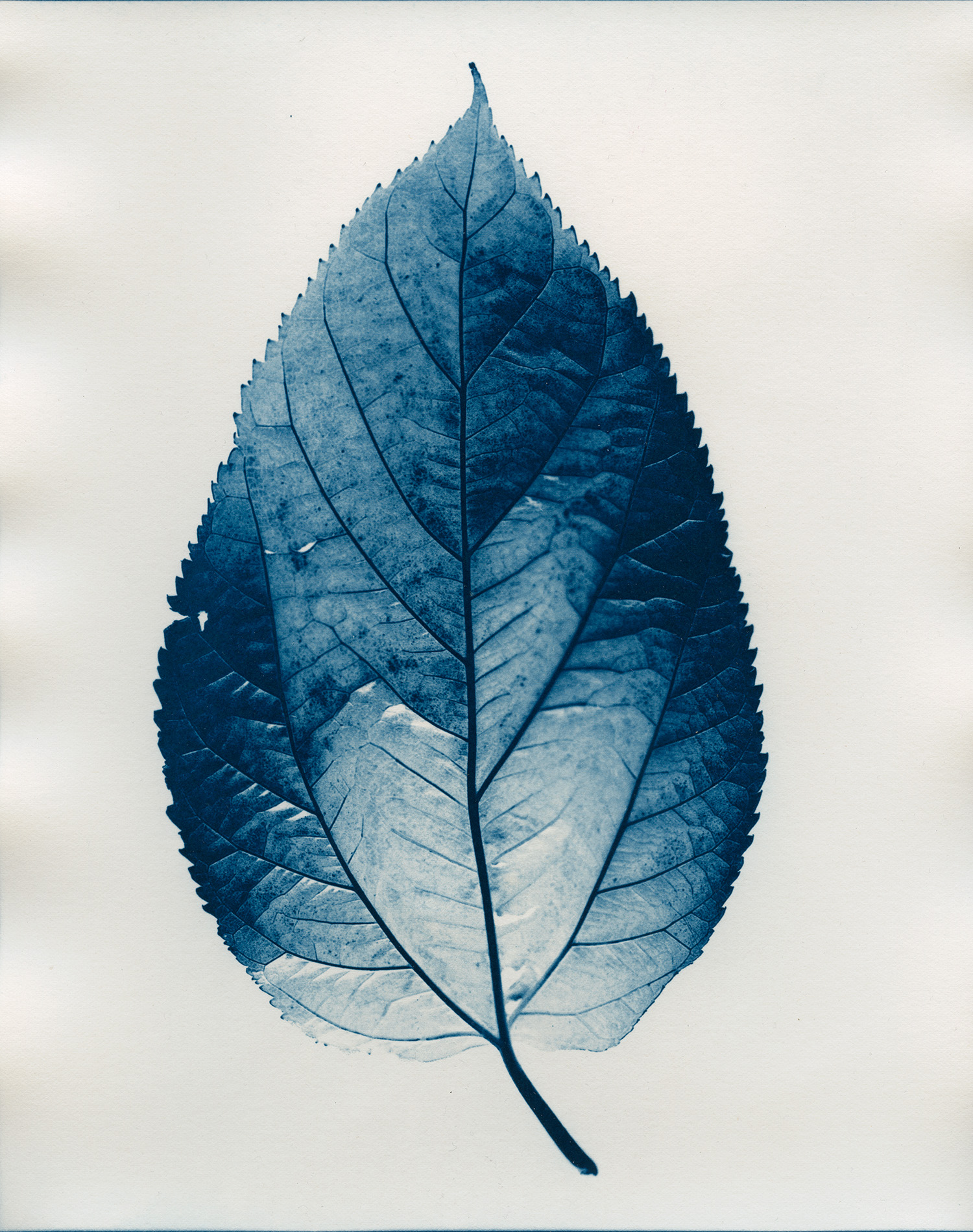 Cyan-Mullberry_Leaf-1900x1500x72dpi-Sq.jpg