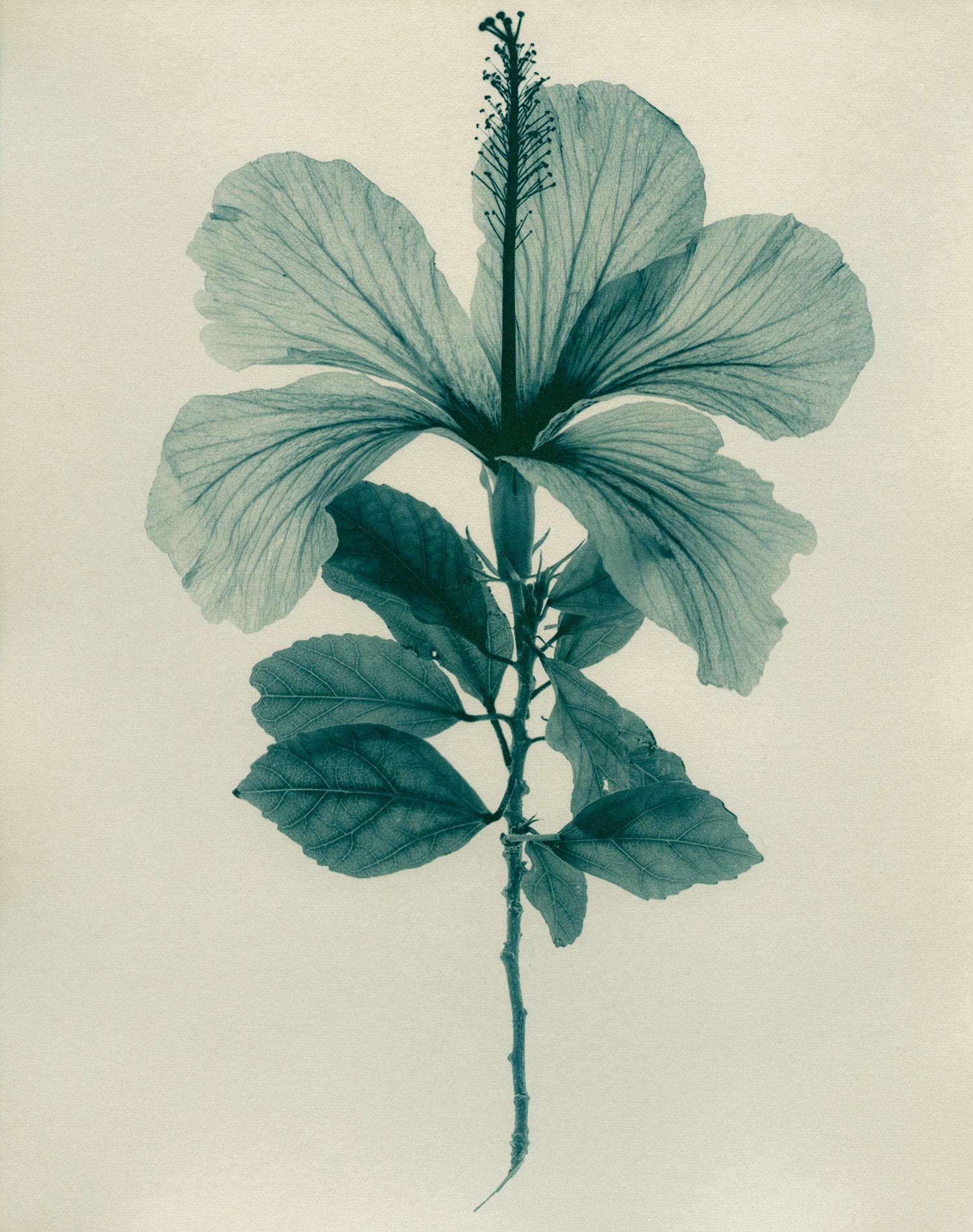 Cyan-Hibiscus1900x1500x72dpi-Sq.jpg