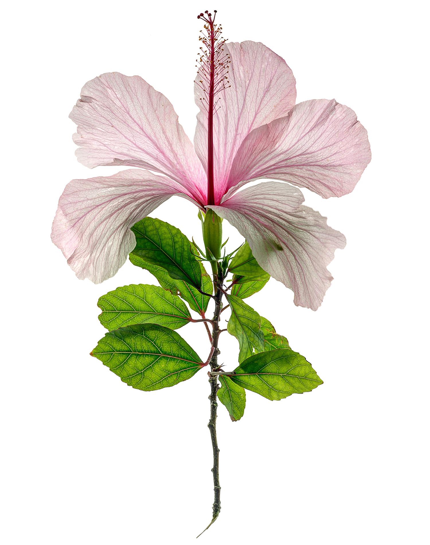 Hibiscus-1900x1500-72dpi-Web.jpg