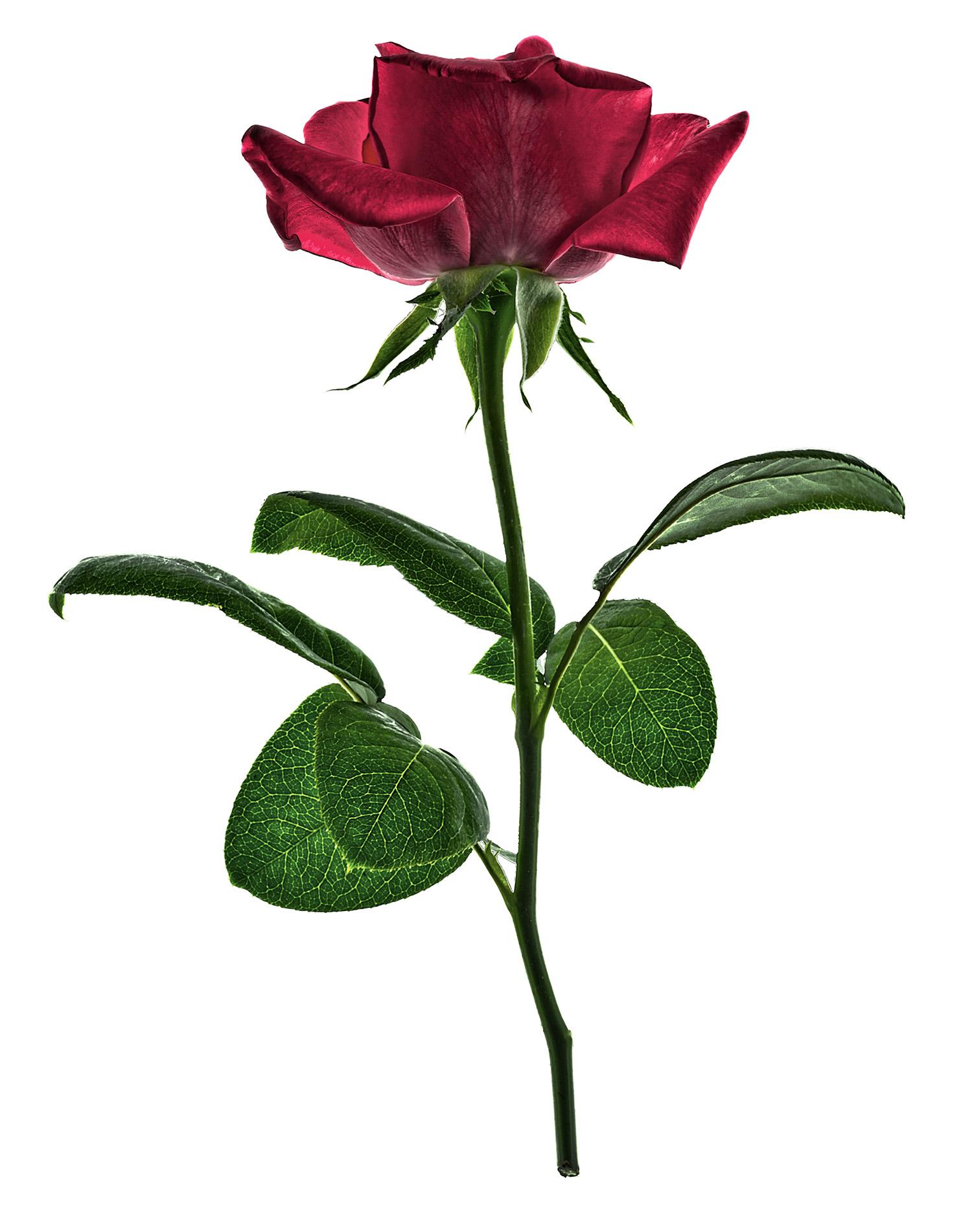Rose-1900x1500x72dpi-Web.jpg