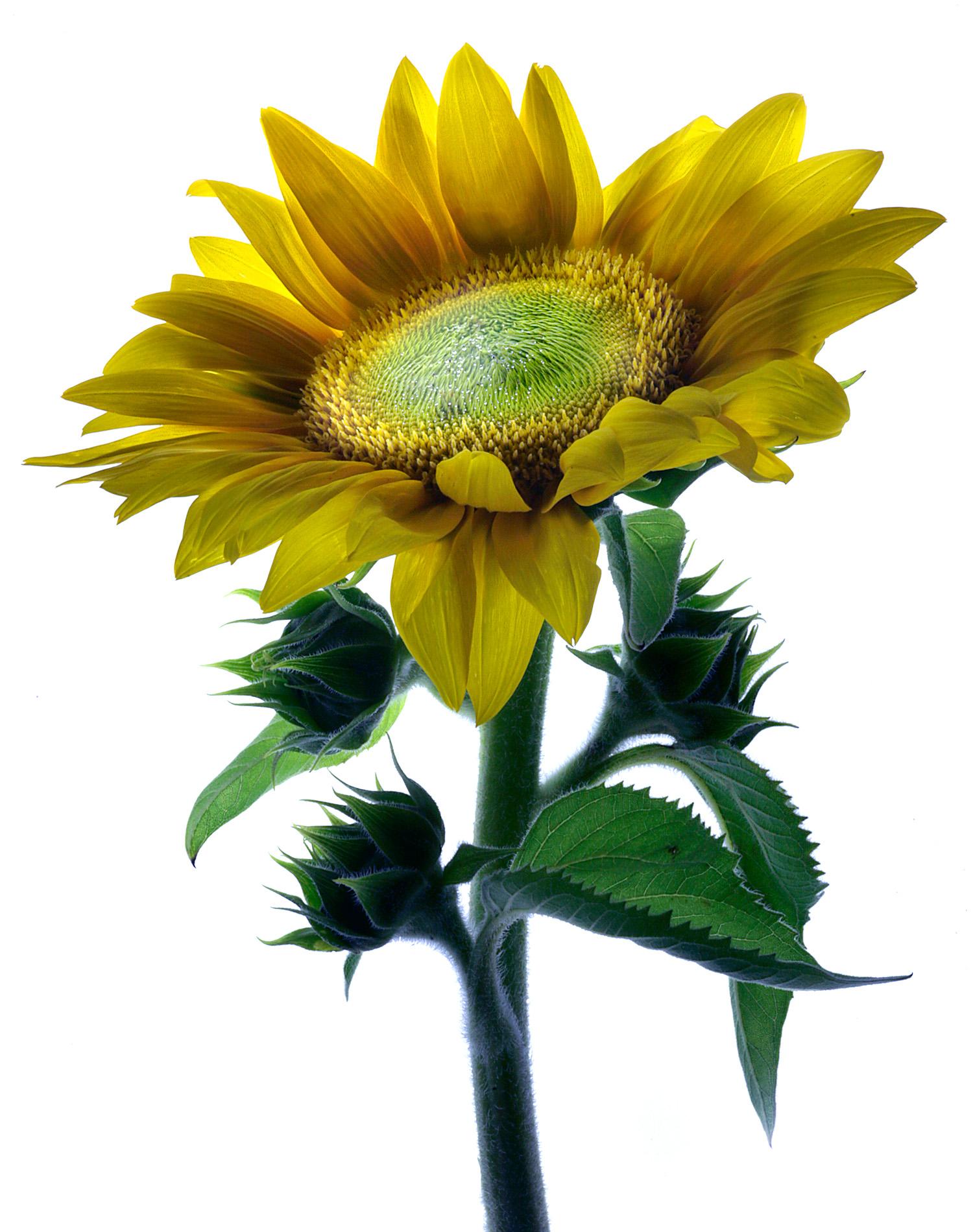Sundflower-1900x1500x72dpi-Web.jpg
