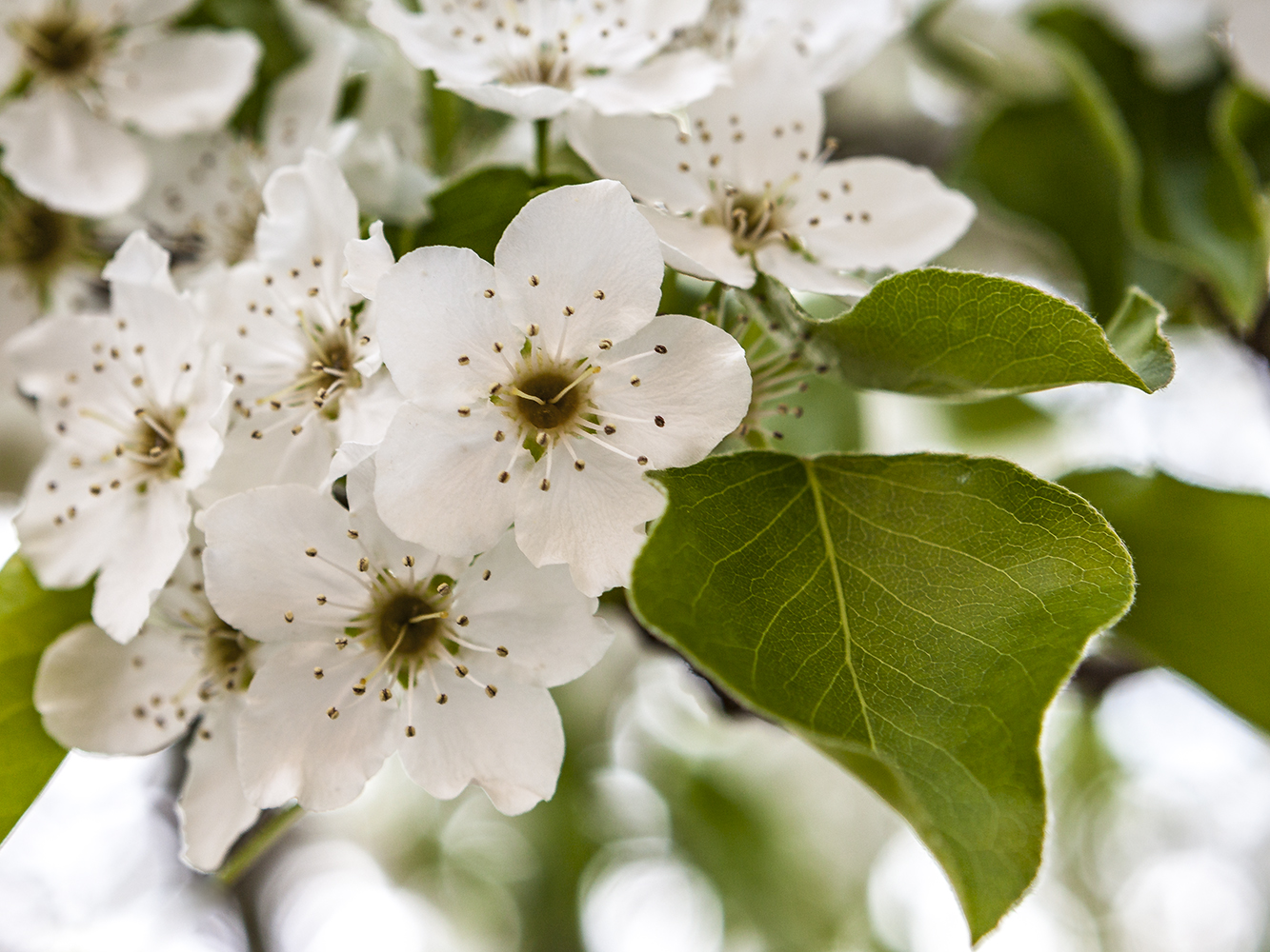 cherry blossom 2010-3.jpg