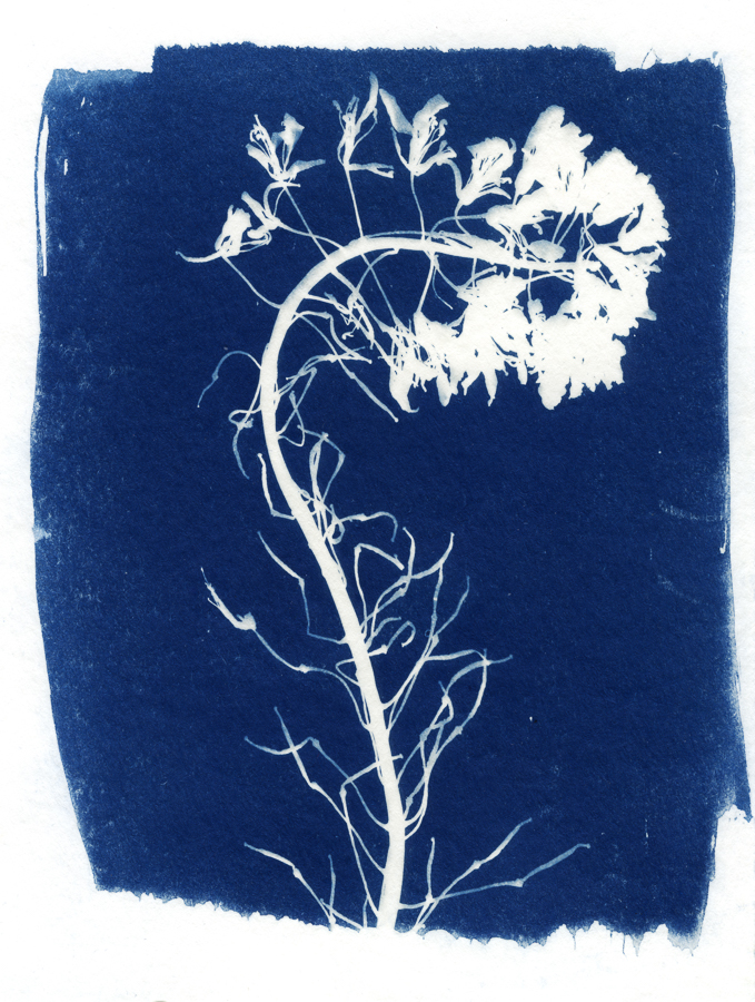 Cyanotype on Watercolor Paper, 2019