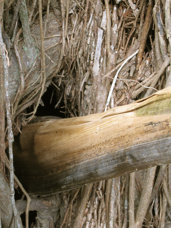 "Shaped palm frond (with resins and oil) for listening to the inside of the tree, 48"" x 5"" largest diameter.  Detail of trumpet entering hole in tree."