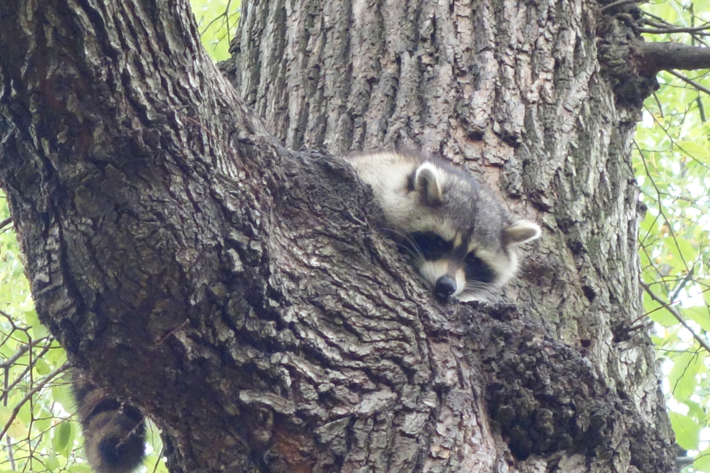 Racoon on Great Hill.