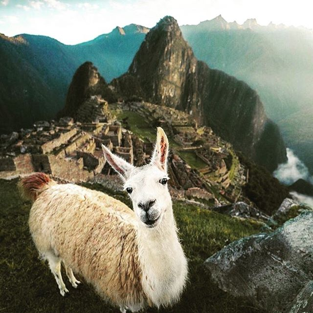 I am Peruvian like a llama, and I look like it too 😝 #peruano #habloespañol #goodlookingllama #machipichu It is due a trip to home land 🤟pic by @emmett_sparling