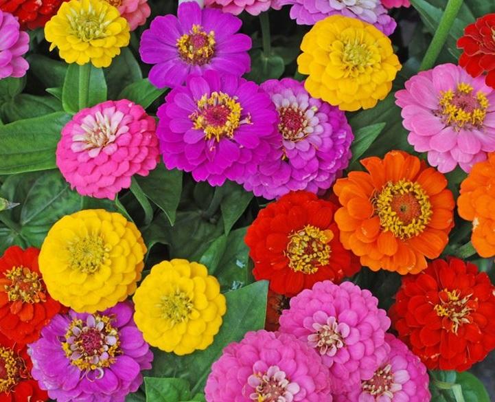 zinnia-flowers-mixed-flowers-shutterstock-com_12811.jpg