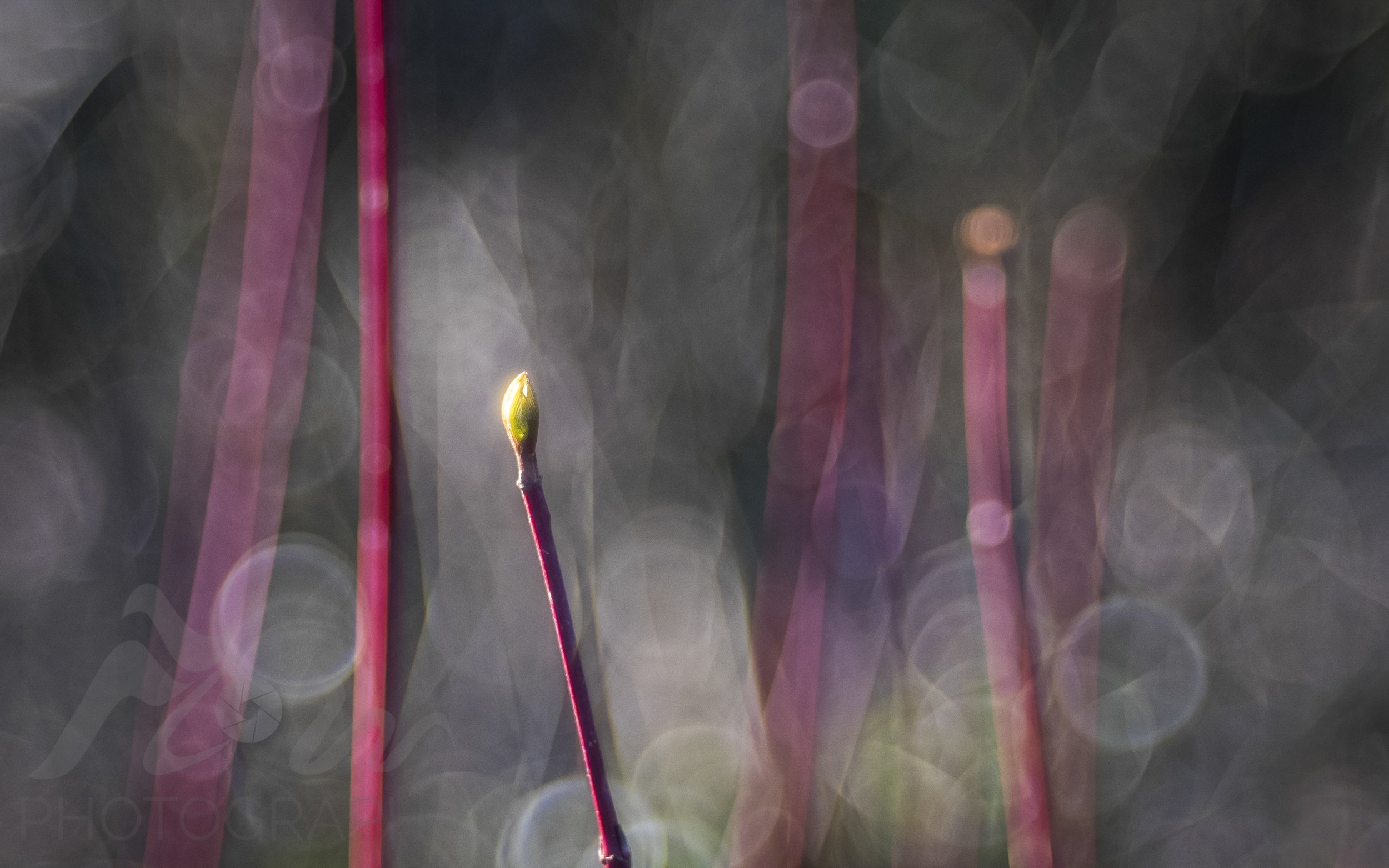 Illuminated   The low evening light on this Dogwood bud brings to my mind an illuminated flickering candle.