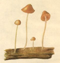 "CALLED ""Children of the Waters"" by Aztecs,  Psilocybe Aztecorum  Heim grows in grass on volcano Popocatepetl."