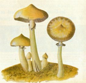"MUSHROOM of Superior Reason,""  Psilocybe caerulescens  Murrill var.  nigripes  Heim, grows near Juquila."