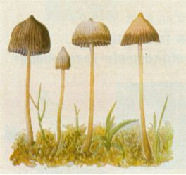 MOST PRIZED by Indians and most widespread of these fungi,  Psilocybe mexicana  Heim grows in pastures.