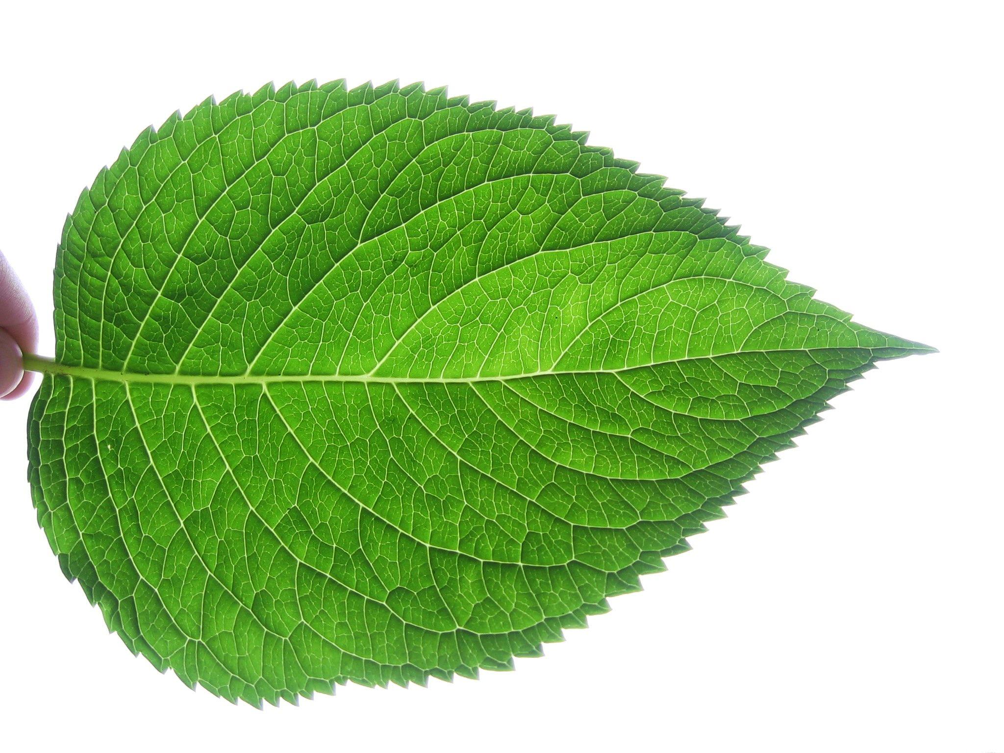 Leaf_fractal_like.JPG