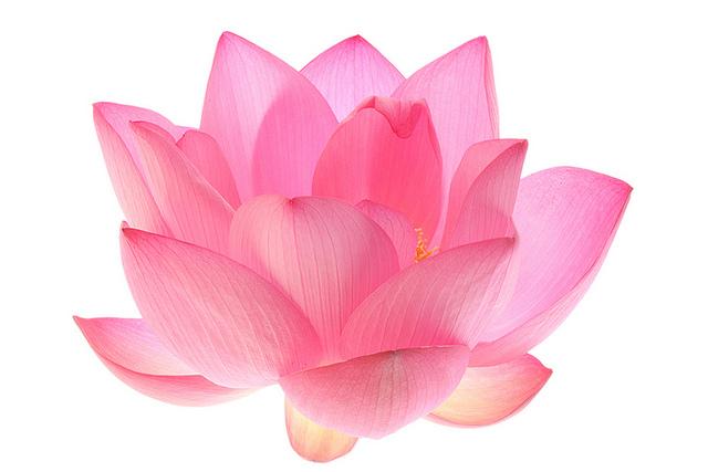 white-lotus.jpg
