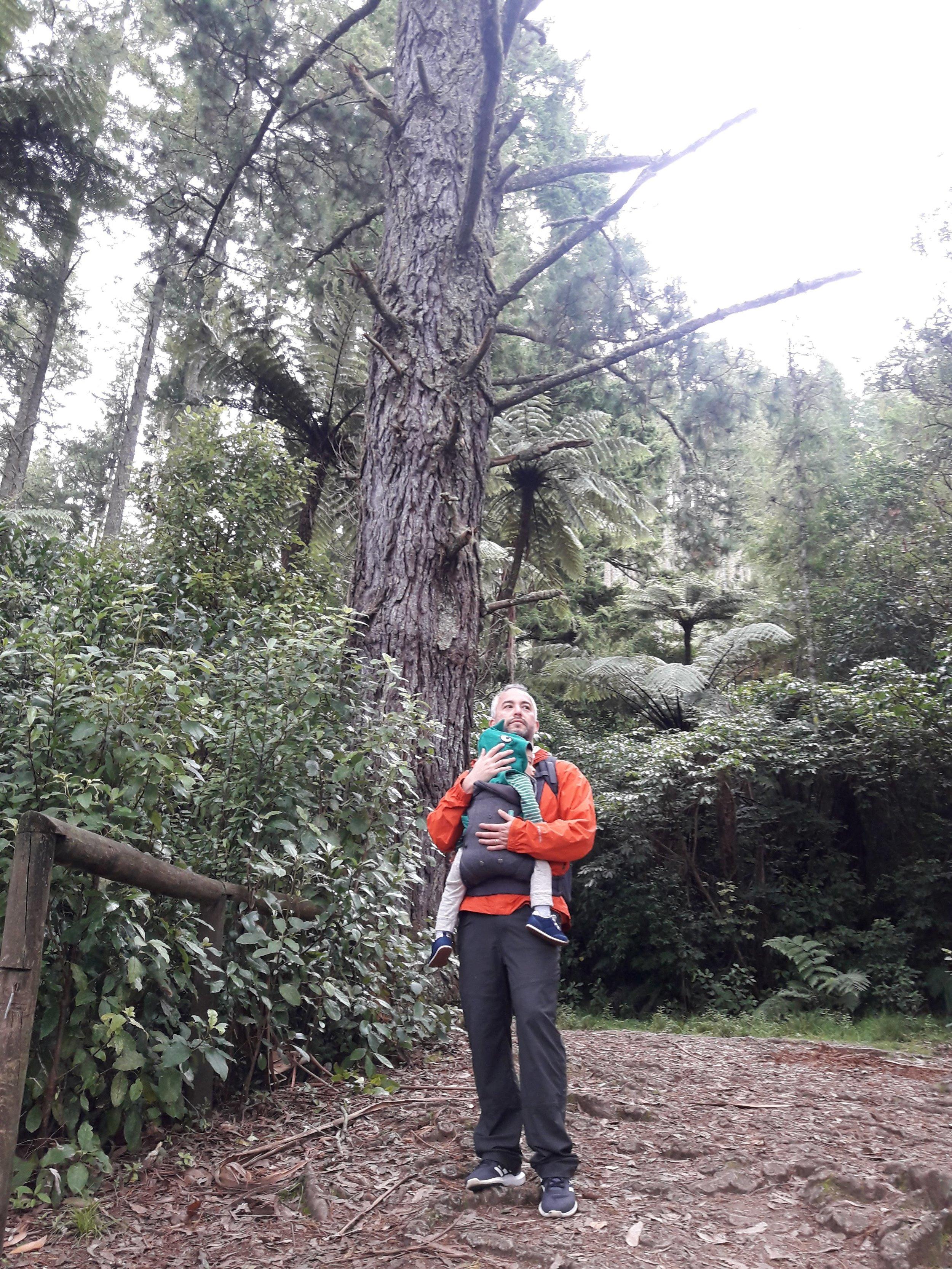 Sequoia, (red wood) trazida da Calfórnia.
