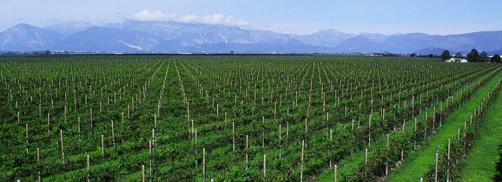 Forchir- Vineyards.jpeg