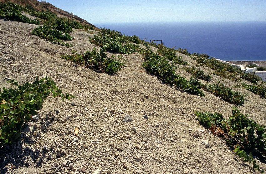 Santorini- vines.jpg