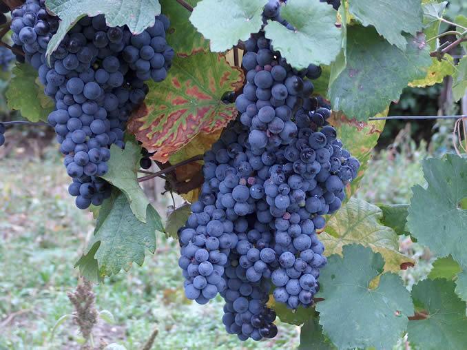 Blaufrankisch Grapes