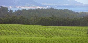 Valdamor's vineyards, overlooking the Atlantic.