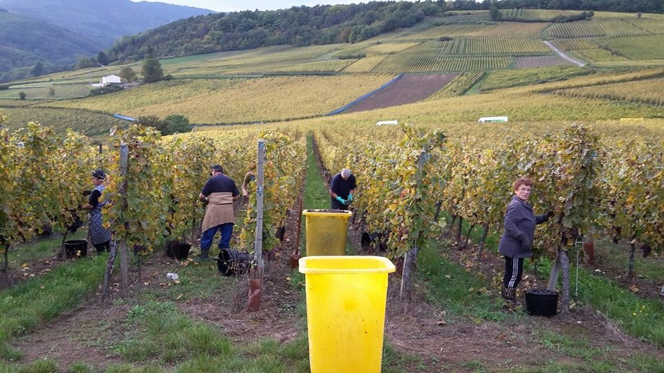 Harvest at Rolly Gassmann