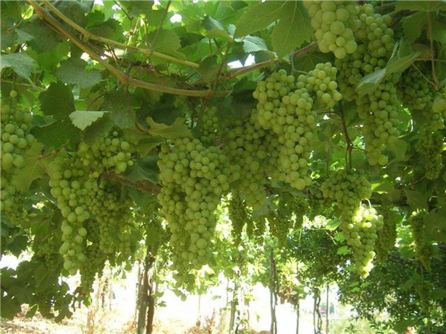 Grave- vines.jpg