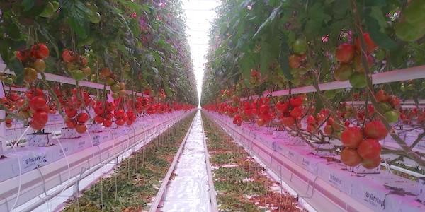 pomodori-fresh-guru-prospettiva.jpg