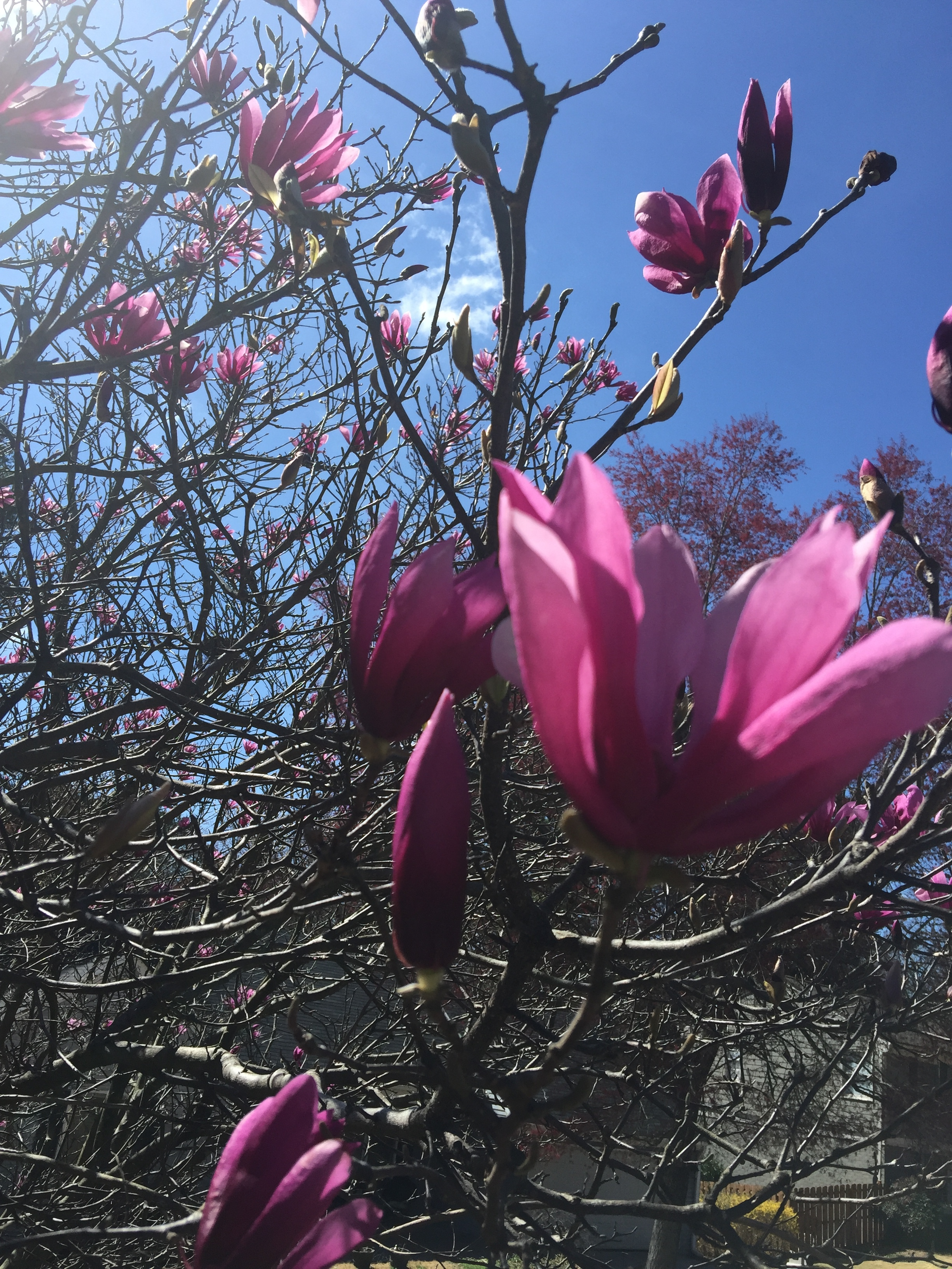 There is nothing like spring in the south eastern U.S.Saucer Magnolias open up their blooms to herald in the coming dawn of warmth, color, pollen, and all things brand new.