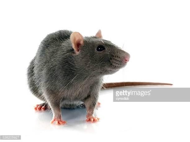 yeah - rats