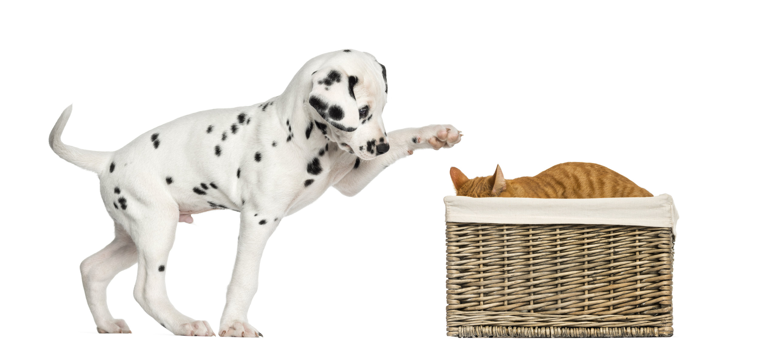 dalmatian-puppy-playing-with-a-cat-hiding-in-a-PQKWCXA.jpg