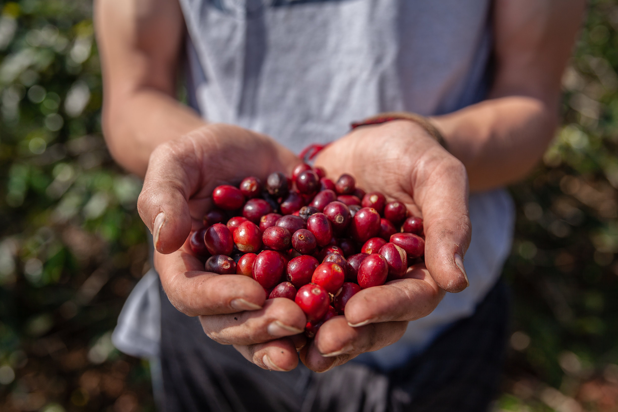Cam Coffee Cherries in Hands.jpg
