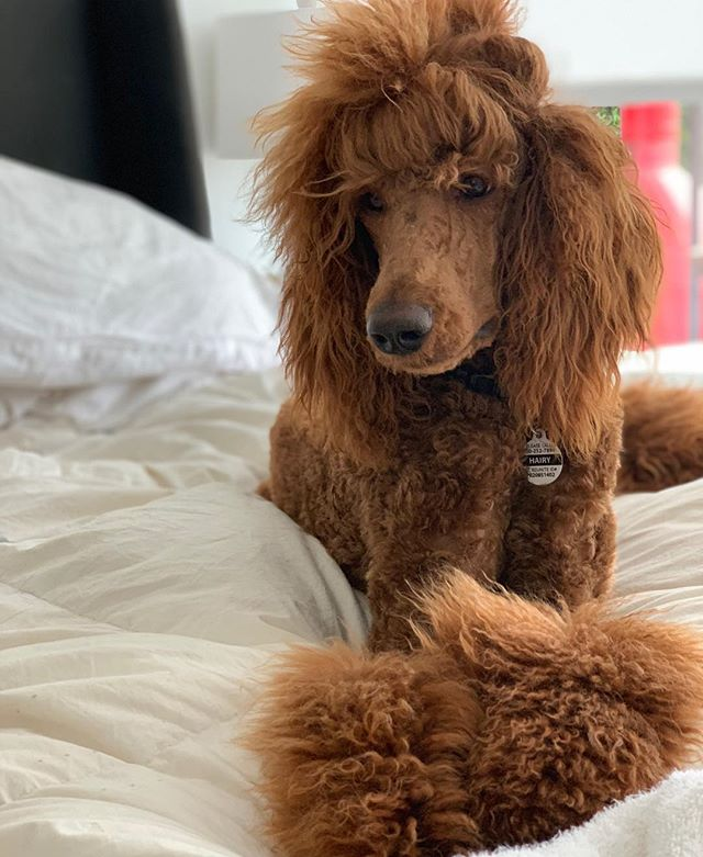 This counts as a hair post right? @hairyisapoodle styled by #timandtabcolab cut by @randgpetspa he runs the house. We just get to hang out with him. Best #standardpoodlesofinstagram ever. #redstandardpoodle