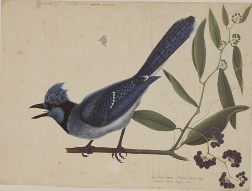 The Blue Jay & The Bay-Leaved Similax RL24828