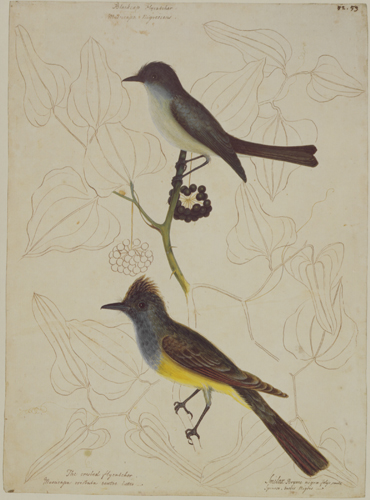 The Crested Fly-Catcher, Bladecap Flycatcher & Similax Bryoniae RL25886