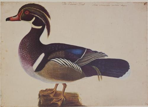Summer Duck RL25932