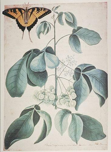 Fruited Virgincanus RL26045
