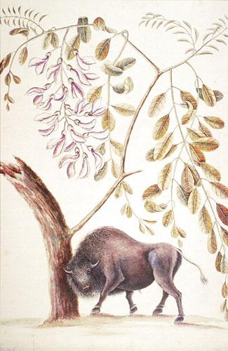 The Buffalo & Pseudo Acacia RL26090